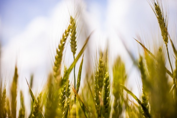 nature-field-agriculture-cereals-large